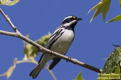 Black-throated Gray Warbler (9702)