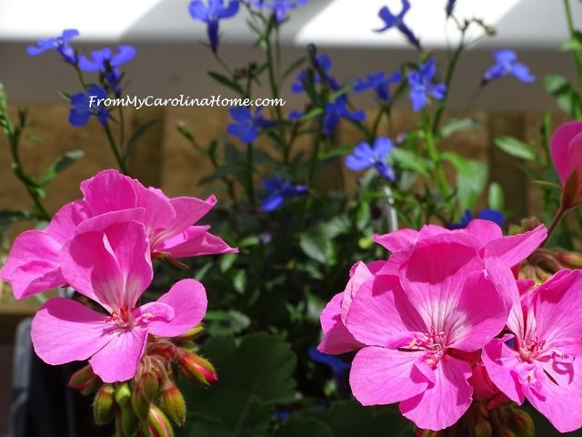 Pink Geranium with blue lobelia