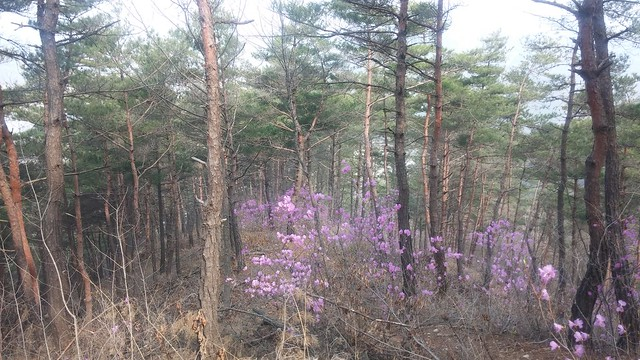 도장산 | 진달래 꽃길 - 소나무숲