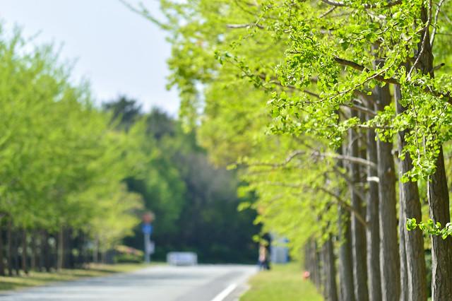 春のイチョウ並木
