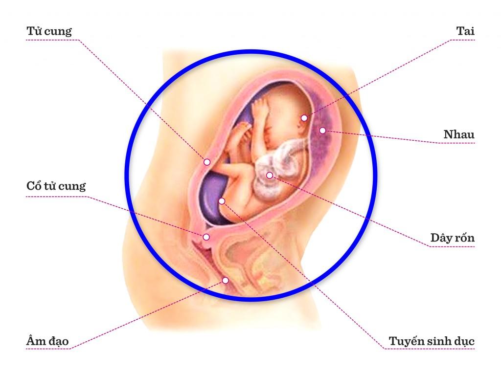 Hình ảnh sự phát triển của thai kỳ : Tuần 25