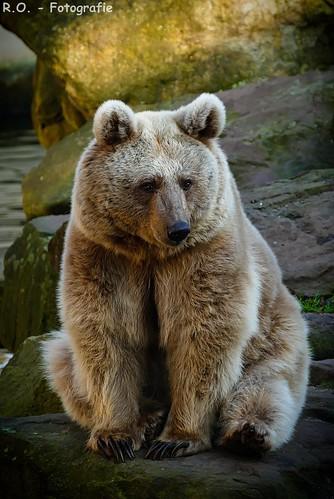 Syrischer Braunbär / Syrian Brown Bear