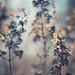 Winter Hydrangea by Sandra H-K
