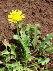 starr-070208-4378-Taraxacum_officinale-flowering_habit-Makawao-Maui