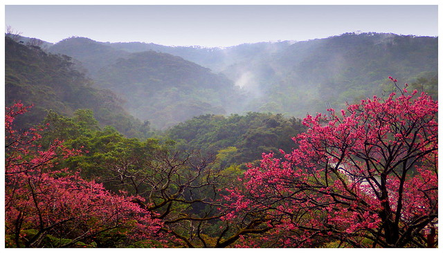 TAIWAN CHERRY BLOOMING ON THE SLOPES OF MT. YAE ON A COLD AND RAINY DAY in NORTHERN OKINAWA