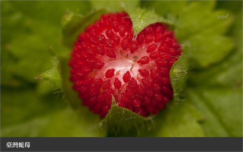 009臺灣蛇莓