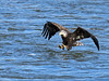 Bald Eagle Fish Grab