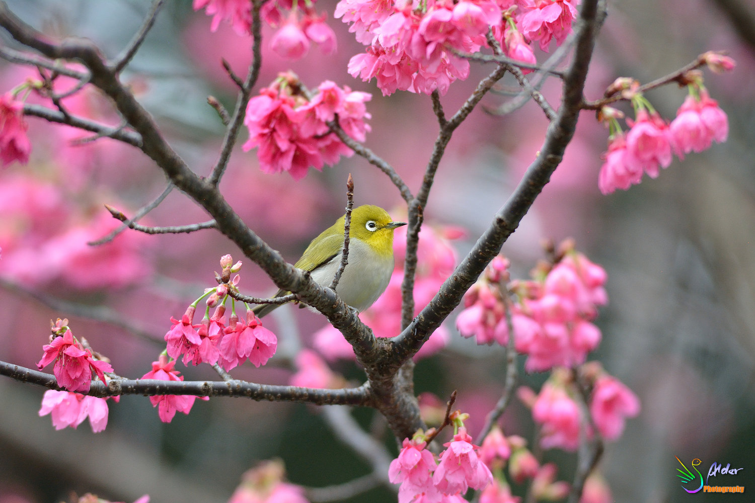 Sakura_White-eye_5842