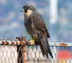 Peregrine Falcon at Alameda Point