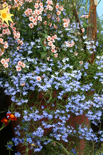 Lobelia blue fountain
