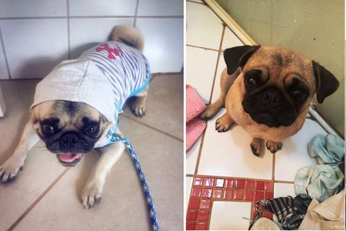 cães pugs desaparecidos