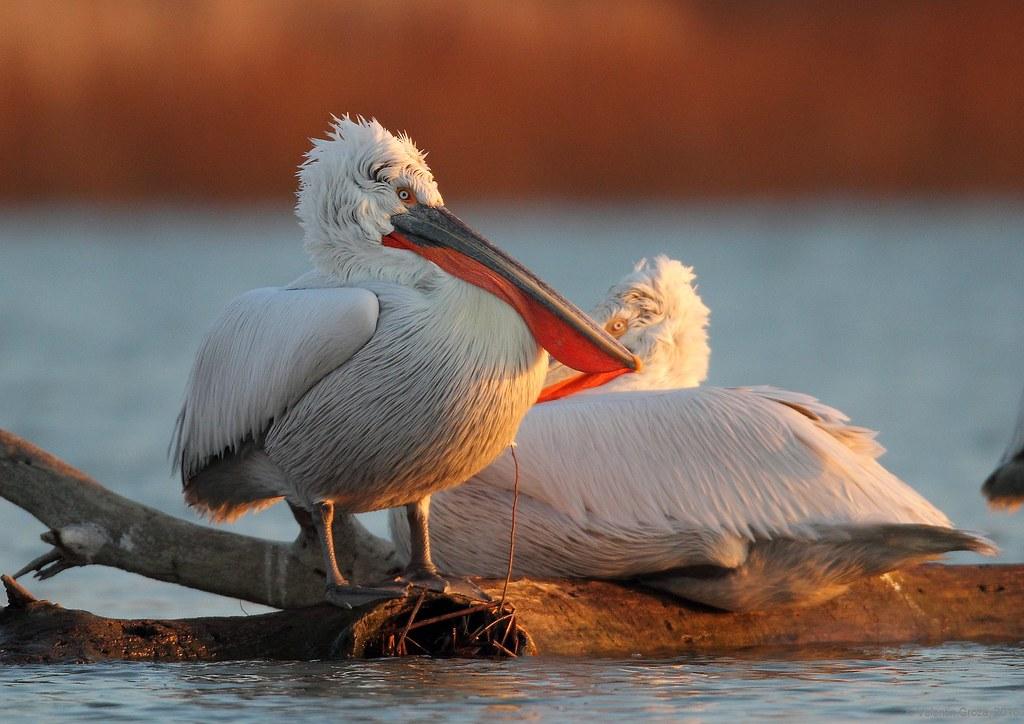 10_pelican cret 005