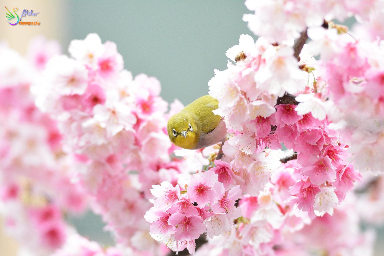 Sakura_White-eye_8170