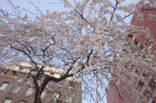 Weeping cherry (Shidare Sakura) blooming at Nihonbashi 02
