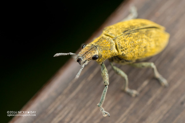 Gold dust weevil (Hypomeces sp.) - DSC_6049