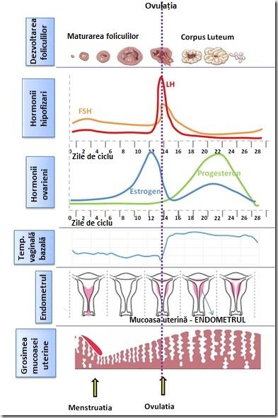 complexul ciclului mestrual