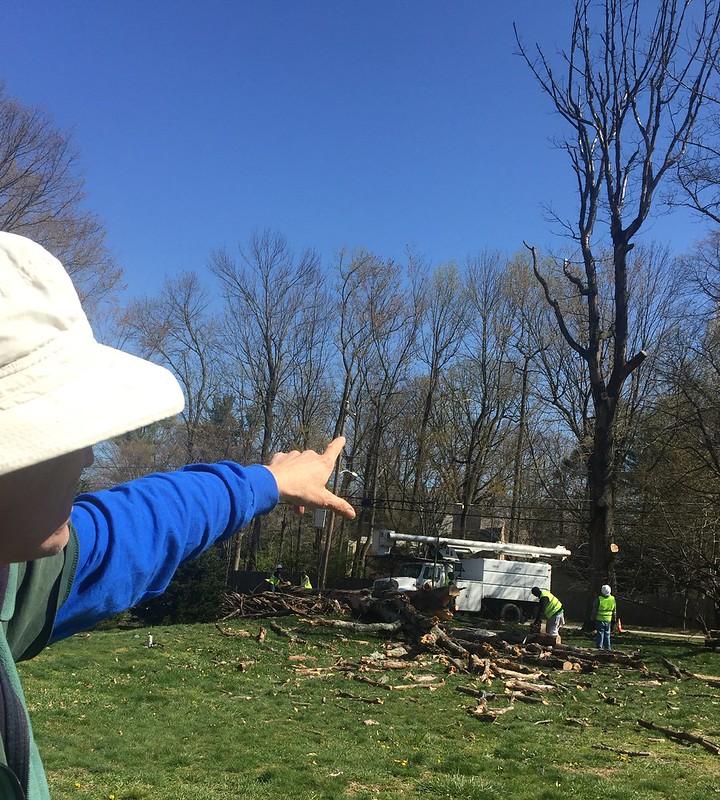 Park service fells diseased tree