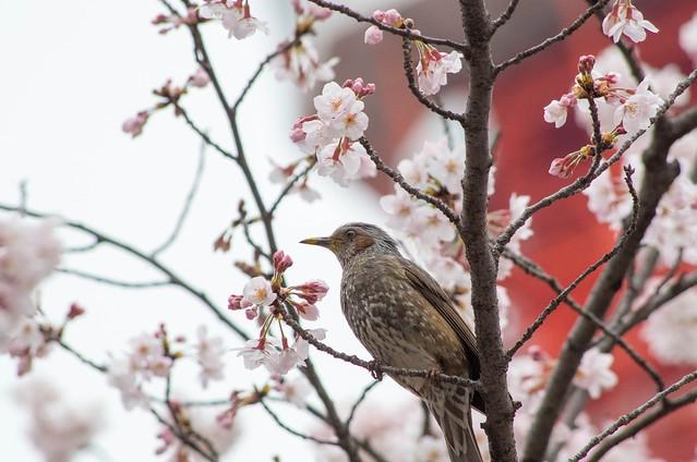 2016年4月2日お花見-26