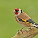 Goldfinch by Roger H3