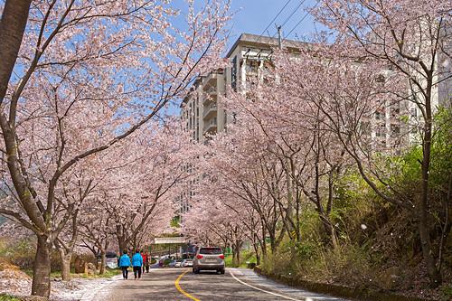 road sakura southkorea