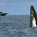 Humpback Whale Spy-hopping (Andrew Merrick)