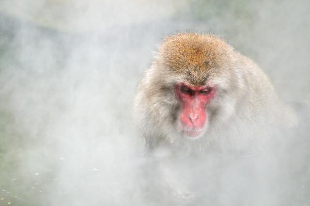 Hot Bath | Jigokudani Monkey Park (地獄谷野猿公苑), Nagano Prefecture, Japan