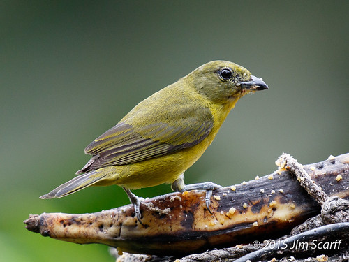 ecuador passerines southamericanbirds milpe euphonias thickbiledeuphonia ecuadorianbirds