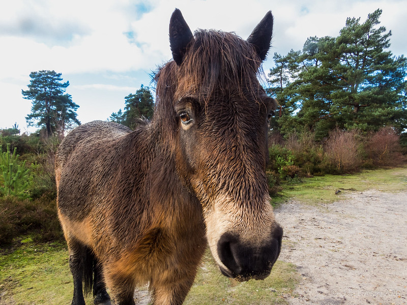 An Exmoor Pony comes over to see me