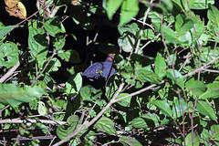 Megapodiidae