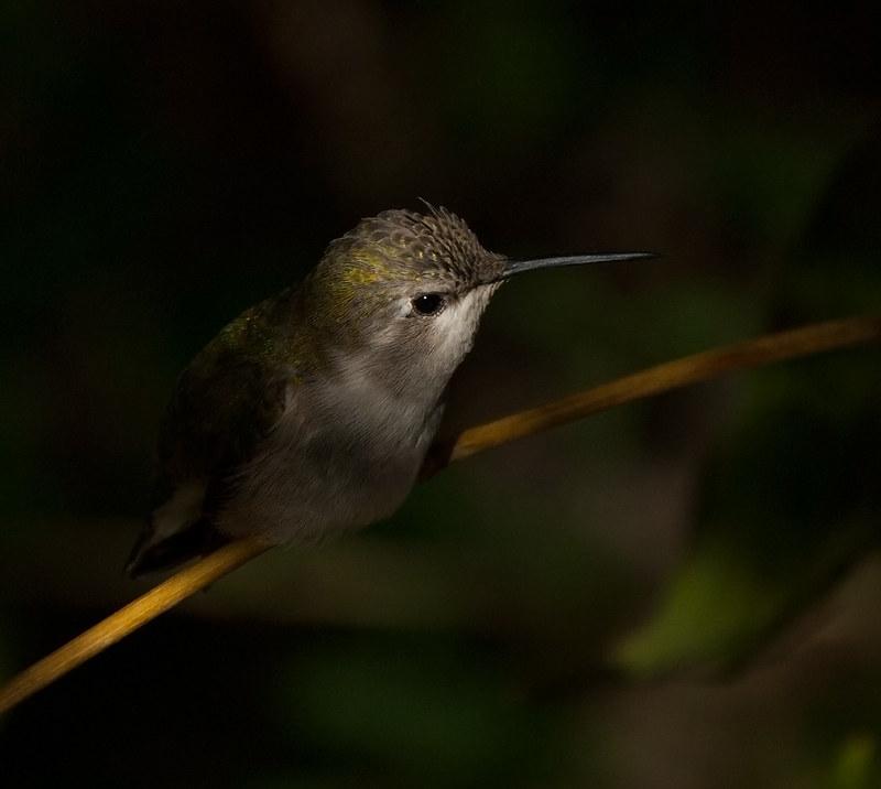 hummingbird-desert-museum