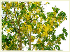 Cassia fistula (Golden Shower Tree/Cassia, Purging Cassia/Fistula, Indian Laburnum) reaching skywards, Feb 7 2014