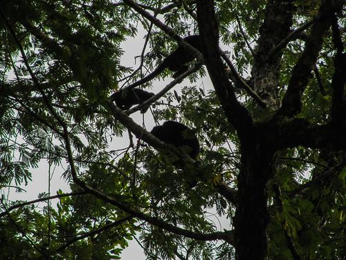 Tikal: des singes hurleurs