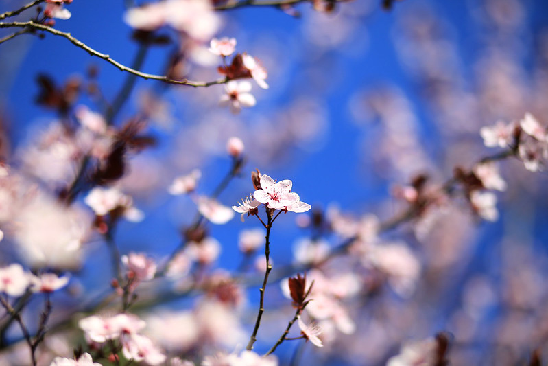 fleurs de cerisier rose et ciel blue