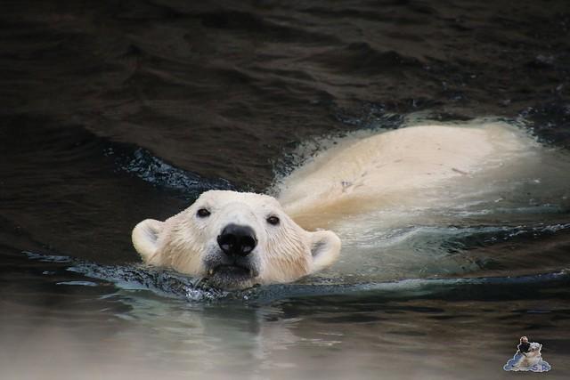 Eisbär Lili im Zoo am Bremerhaven 10.04.2016 Teil 2  032