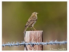 HolderDS0D3741-Meadow-Pipit