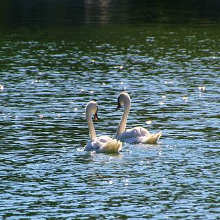 Swans in Schafhausen