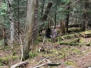 Deer just after Tri-Corner Knob Shelter