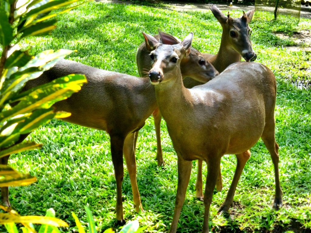 White Tailed Deer At Jaguar Rescue Center