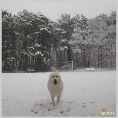 #TheWhiteDog loves snow days!  #Hooray #SoPretty #SnowStorm #CominAtYou #Runner #PineForest #WestChop #North #VineyardHaven #MarthasVineyard #Massachusetts #MVwinter #NOfilter #MVinHD #Shepherd #WhiteShepherd #ShepherdsOfInstagram #WhiteDog #DogsOfInstagr