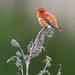 Male Rufous Hummingbird by Wes Aslin