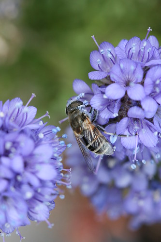 Gilia capitata chamissonis and Bee
