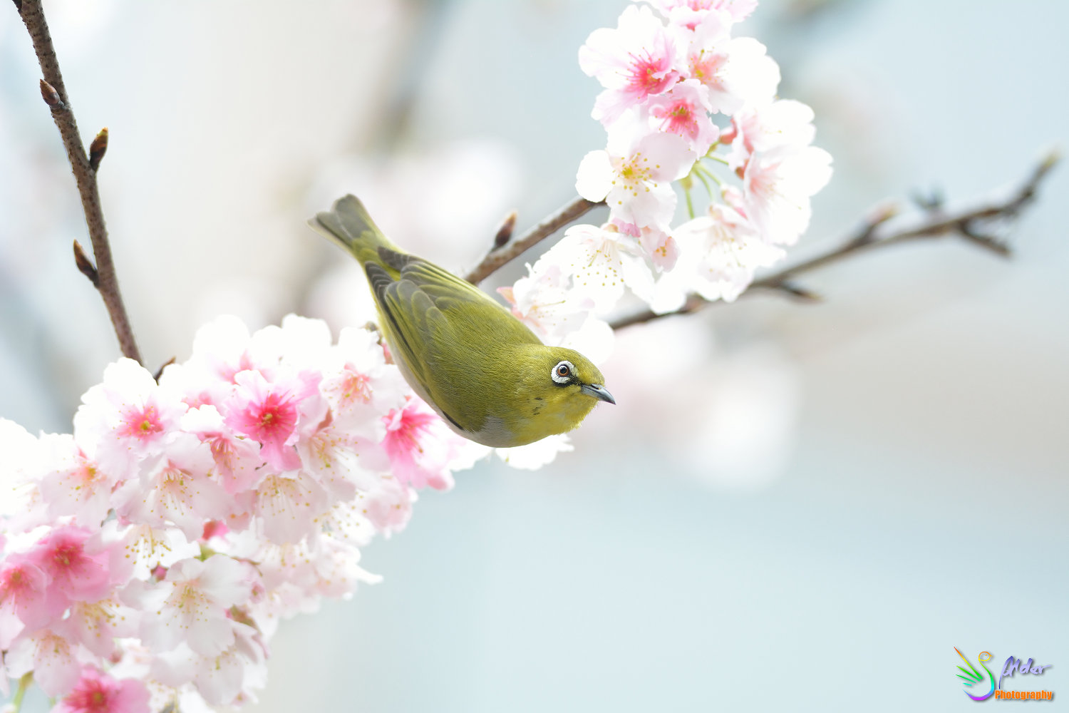 Sakura_White-eye_6824