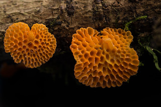Favolaschia calocera