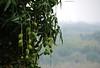 Season of sweet baby green Mangoes in Taiwan