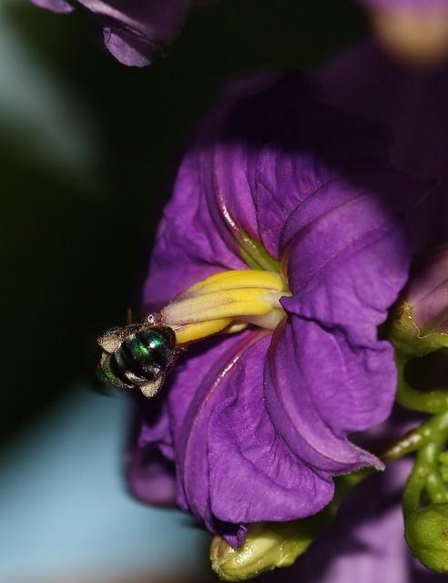 Buzz pollination