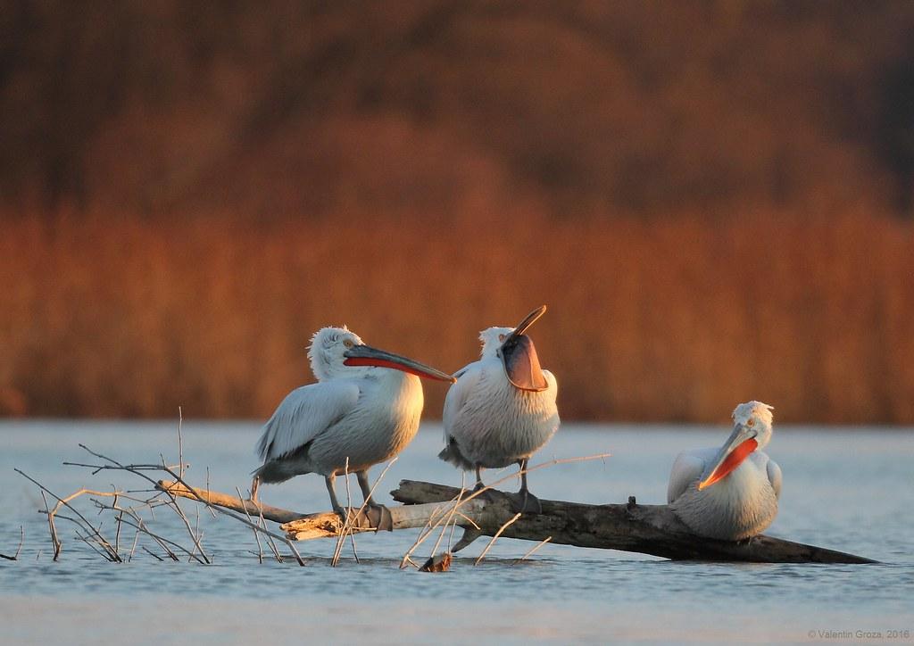 02_pelicani creti 001