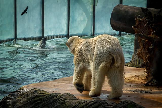 Zoo Prague - Polar Bear