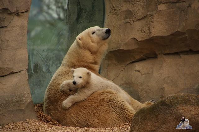 Eisbär Lili im Zoo am Meer Bremerhaven 10.04.2016 Teil 1 114