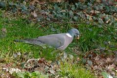 Wood Pigeon (Columba palumbus) eating acorn