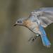 Bluebird In Flight by dane.dawg